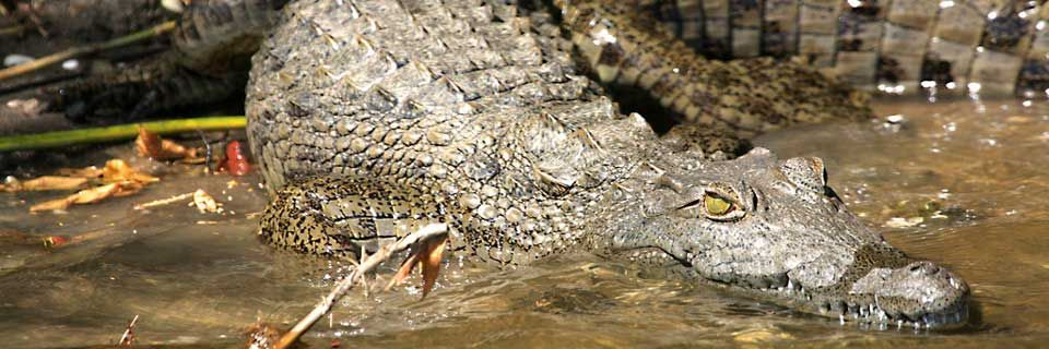 Crocodile at Tongole