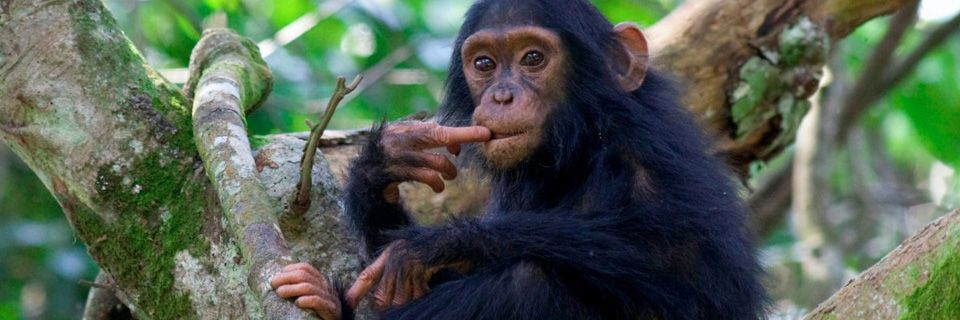 Baby Chimpanzees in The Wild images