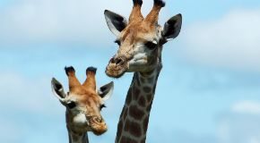 THUMBNAIL_Mummy_and_baby_giraffe
