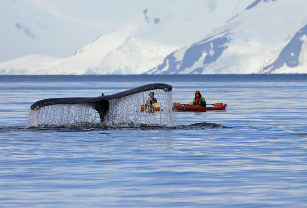 Humpback whale, kayaking