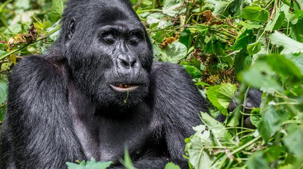 Gorilla Trekking Holidays in Rwanda and Uganda