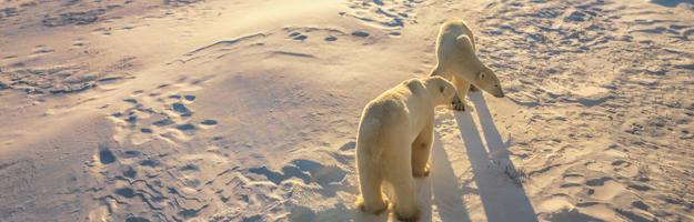 Churchill, polar bears