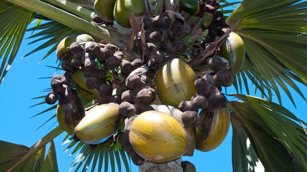 Coco de mer, Vallee-de-Mai, Seychelles