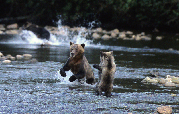 Bear cubs, Great Bear Lodge, Canada
