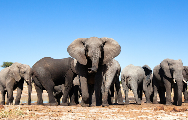 Elephants, Africa