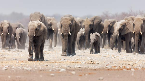 Elephants of Etosha National Park