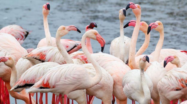 Flamingoes in Walvis Bay