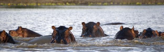Hippos, Selous Game Reserve, Tanzania