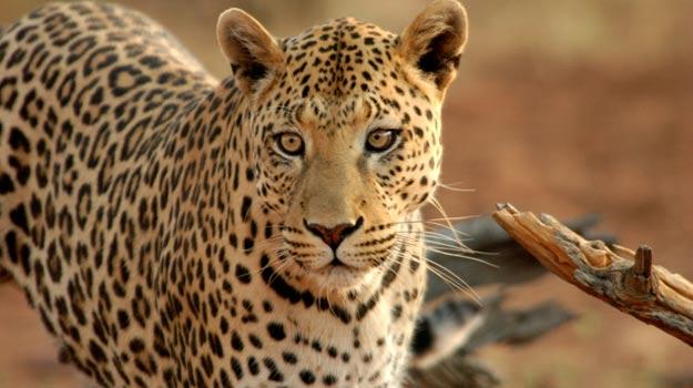 Leopard, Okonjima Reserve