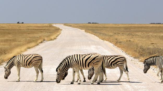 Namibia, zebras in Etosha