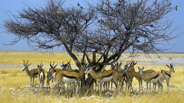 Springboks, Etosha National Park, Namibia