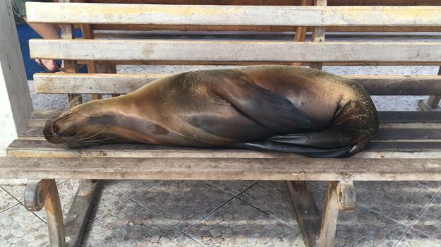 Snoozing sea lion, Galapagos