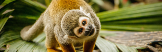 Squirrel monkey, Ecuador