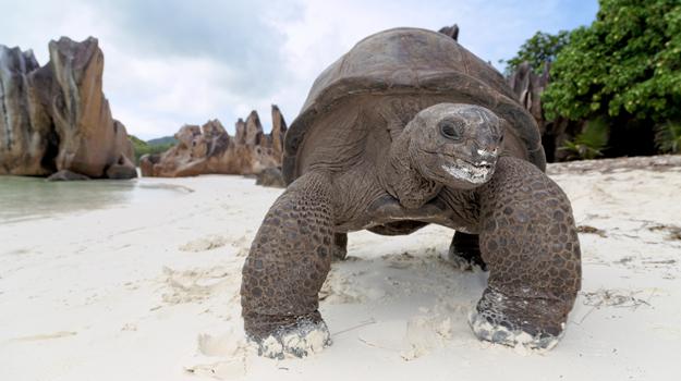 Tortoise, Curieuse island, Seychelles
