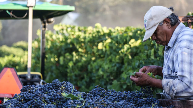 Grape harvest at Jordan Winery, Sonoma